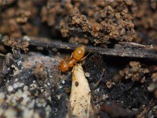 yellow-ant