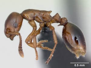 Formicoxenus_nitidulus