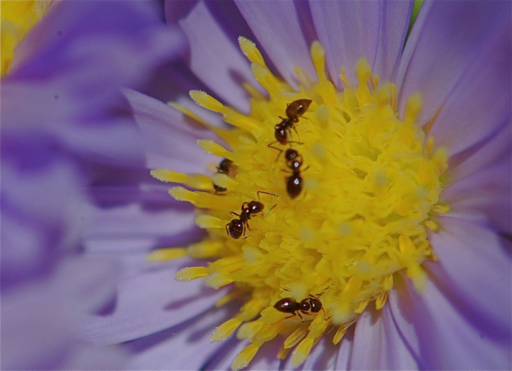 aster-ant4