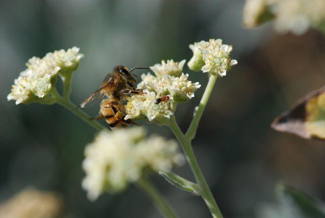honeybee-ant