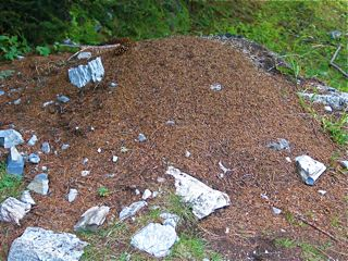 wood-ant-mound