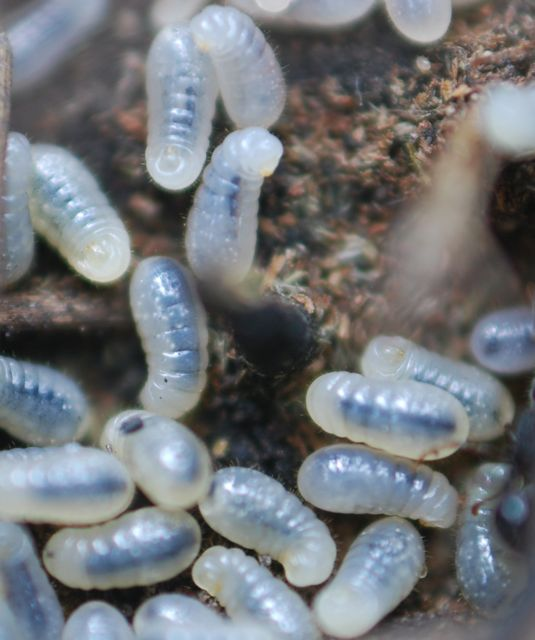 ant-larvae