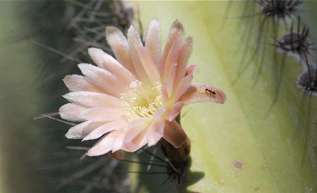 cactus-flower-ant