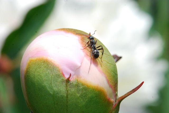 carpenter-ant-ww2