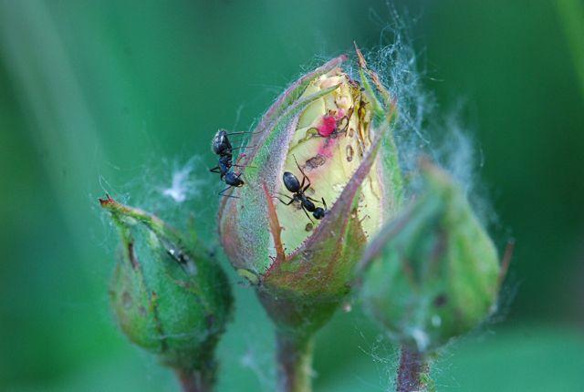 rose-ants