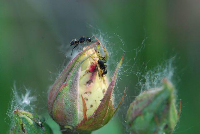 rose-ants1