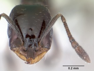 Monomorium_minimum_head