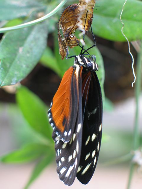 heliconius-butterfly