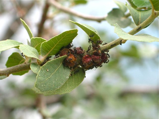 Ants Oak Gall