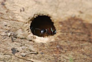 carpenter-ant1
