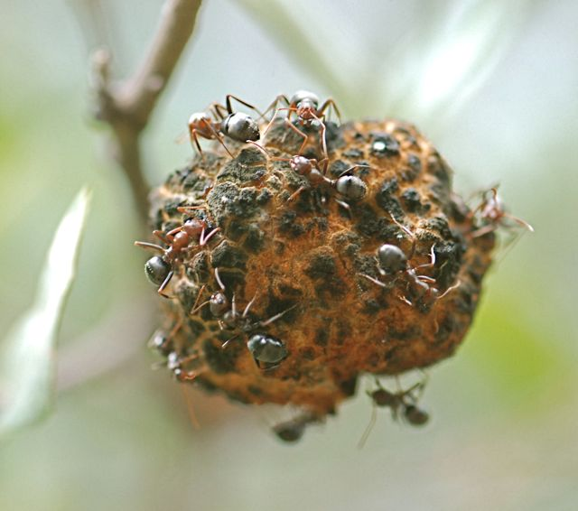 gall-ants-3