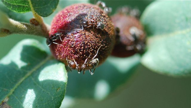 gall-ants-4