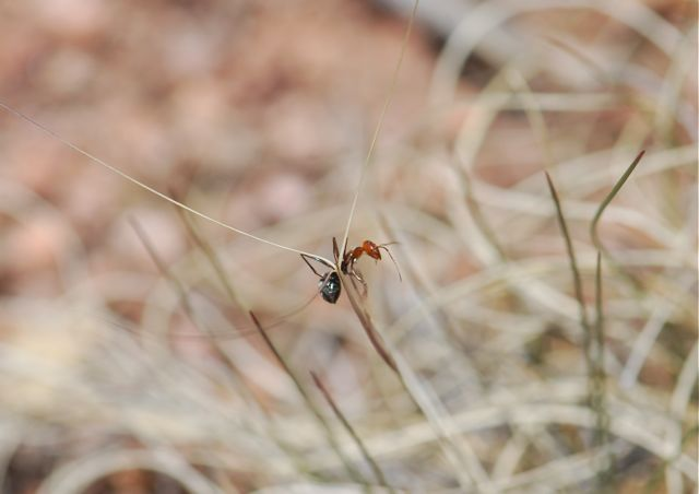 red-ant-1