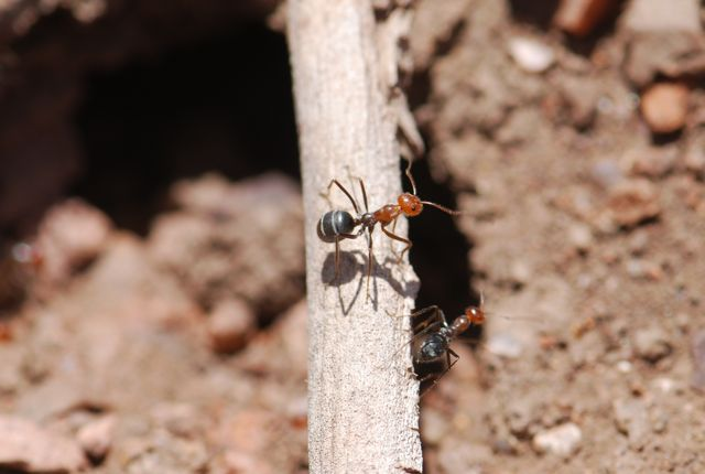 red-ant-3