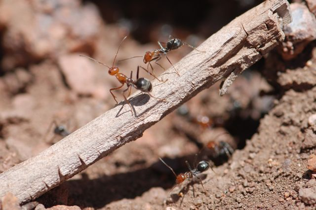 red-ant-5