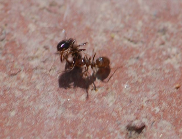 carrying-ant