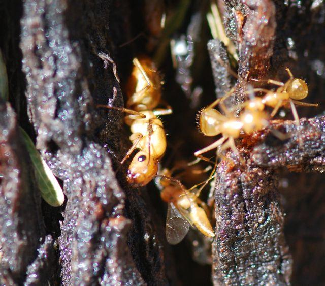 ant-queen