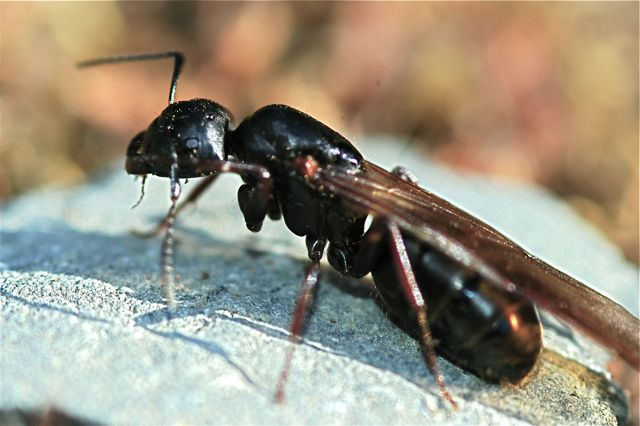 Feeding Ant Queens – Wild About Ants