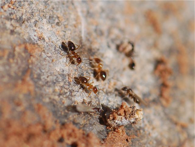 ants with alates