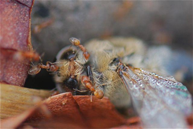 forelius-honey-bee-1