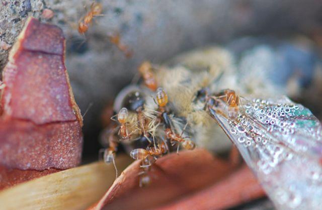 forelius-honey-bee-2