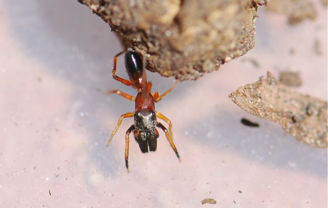 Ant Mimic Jumping Spider Myrmarachne formicaria – Wild About