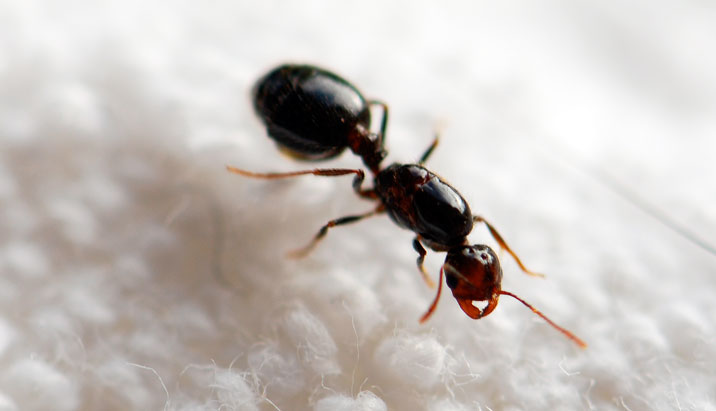 This is a queen fire ant without wings Queen Fire Ant With Wings