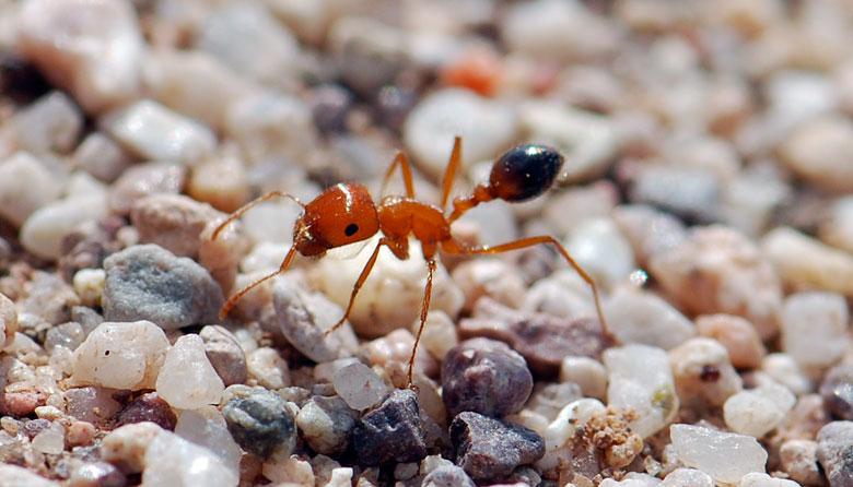 Pogonomyrmex-californicus-alarc-3