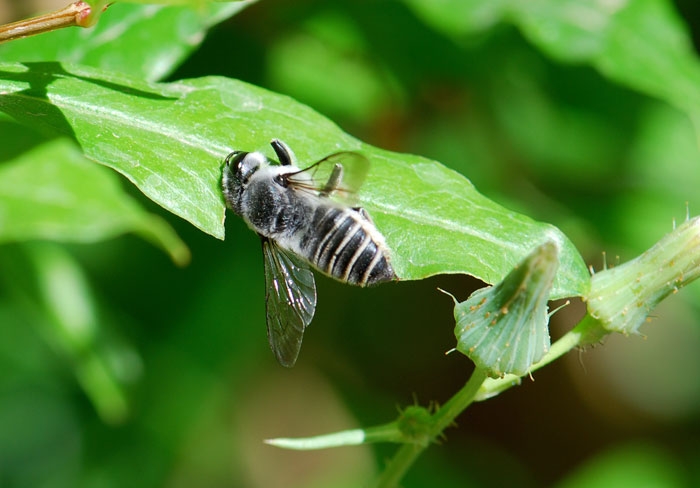 More About Leafcutter Bees Wild Ants