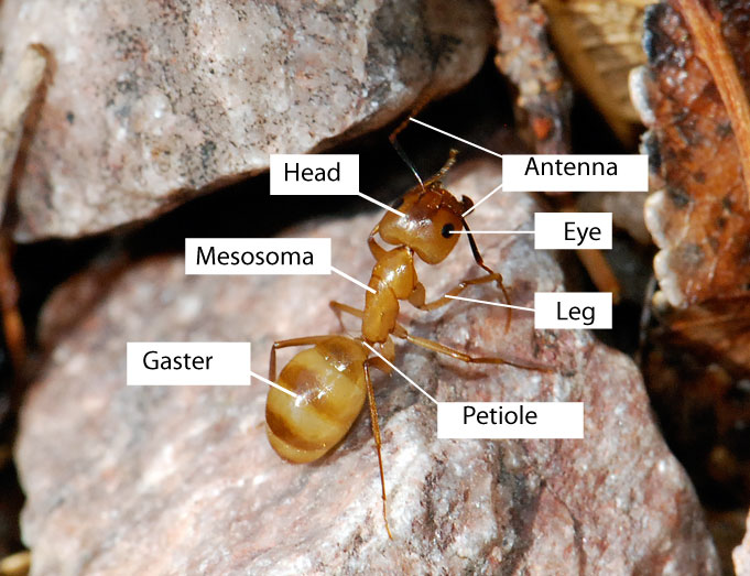 Anatomy of Ants – Wild About Ants