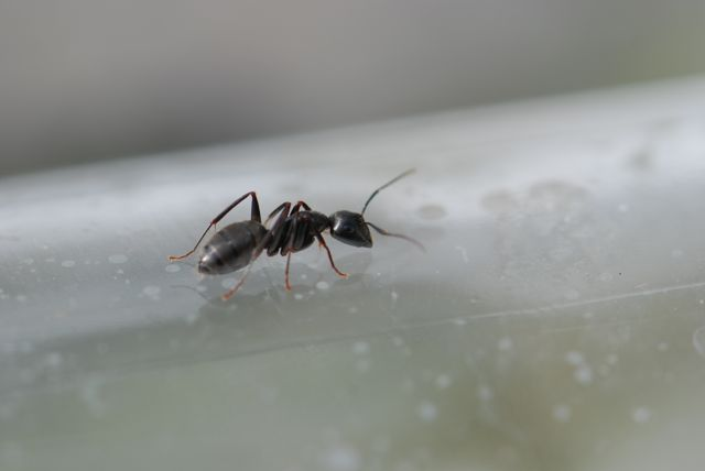 Camponotus-pennsylvanicus-very-cool
