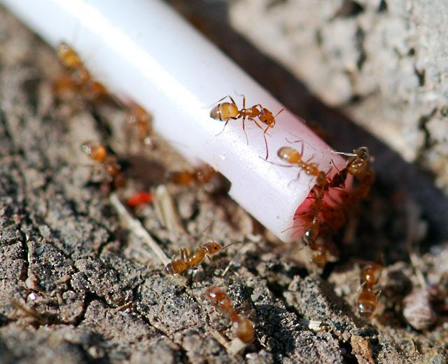 forelius-sidewalk-ants-1