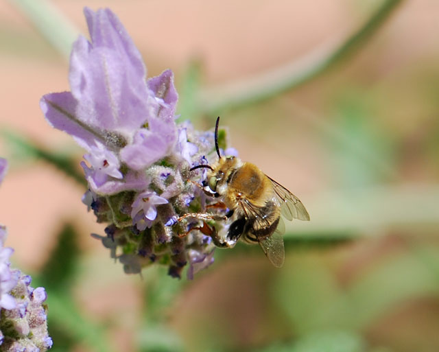 bee-back-lavender-ps