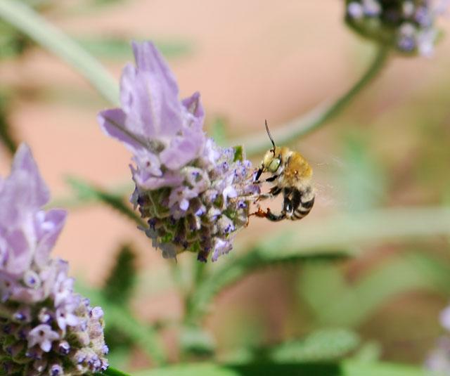bee-capture-lavender-1-ps