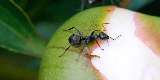 dented-ant-2009-better-gaster