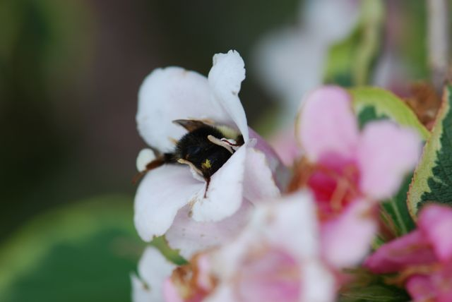 weigela-bumble-bee-2