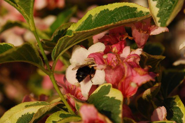 weigela-bumblebee-3