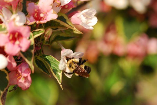 weigela-bumblebee-5