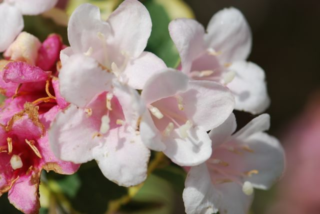 weigela-flowers