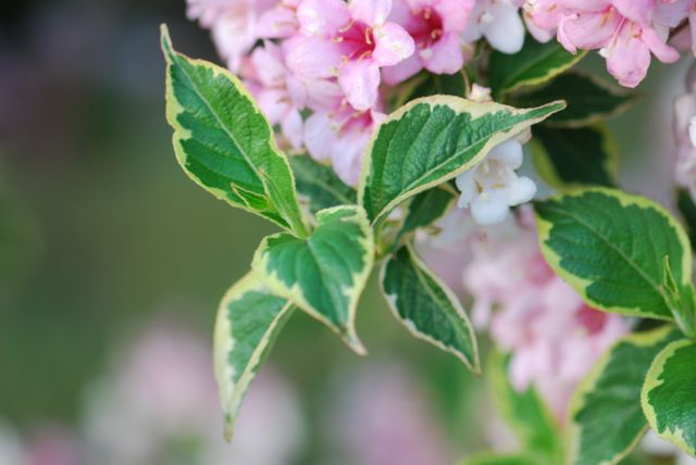 weigela-leaves