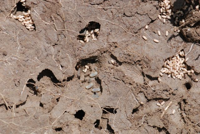 cornfield-ants