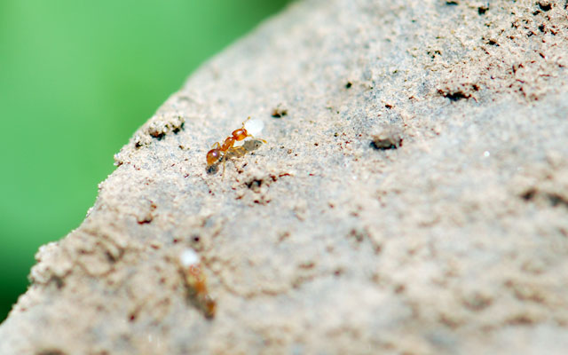 cornfield-nearby-thief-ant