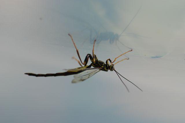 megarhyssa-male-wasp-1