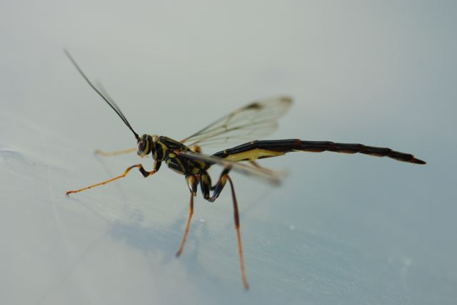 megarhyssa-male-wasp