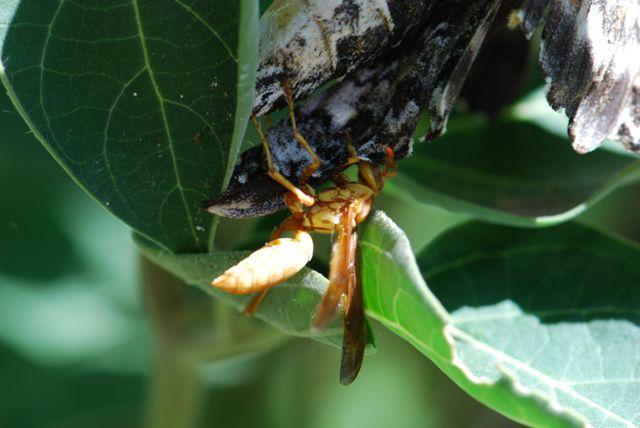 paper-wasp-manduca-attack