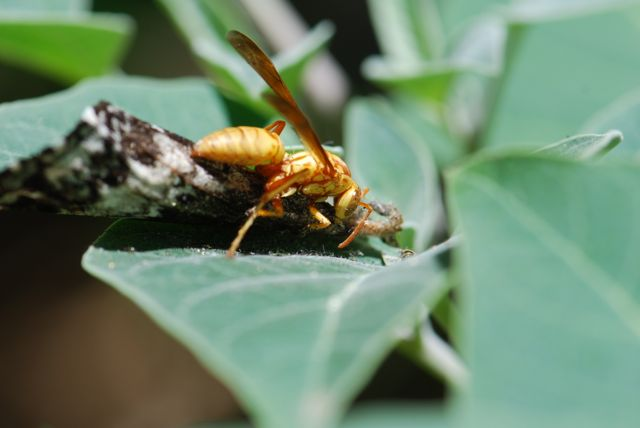 paper-wasp-manduca-rustica-3