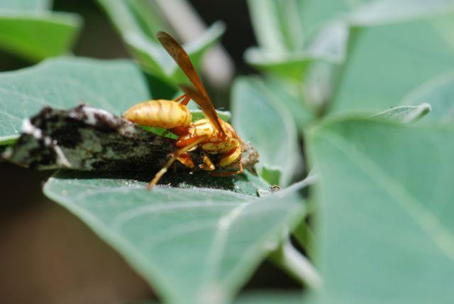 paper-wasp-manduca-rustica-wing-2