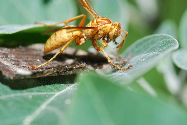 paper-wasp-manduca-rustica-wing-scales