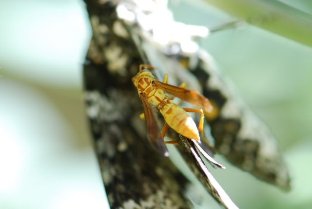 paper-wasp-manduca-rustica