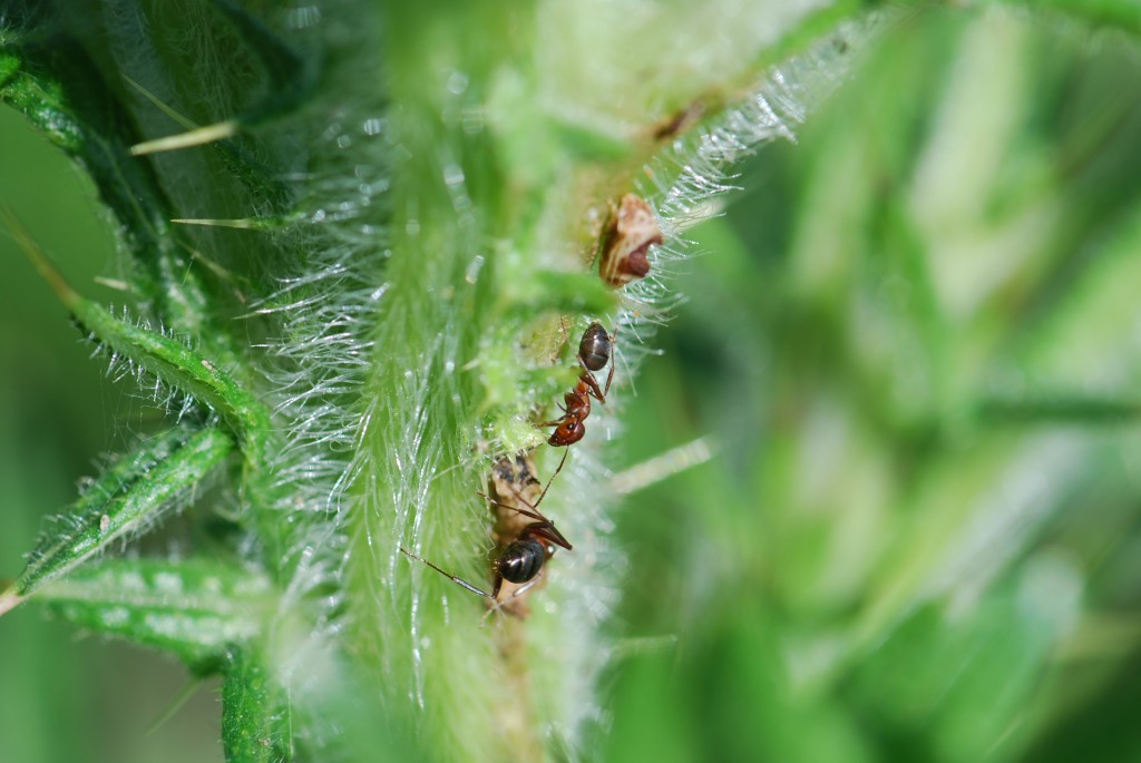 red-ant-tending-on-thistles